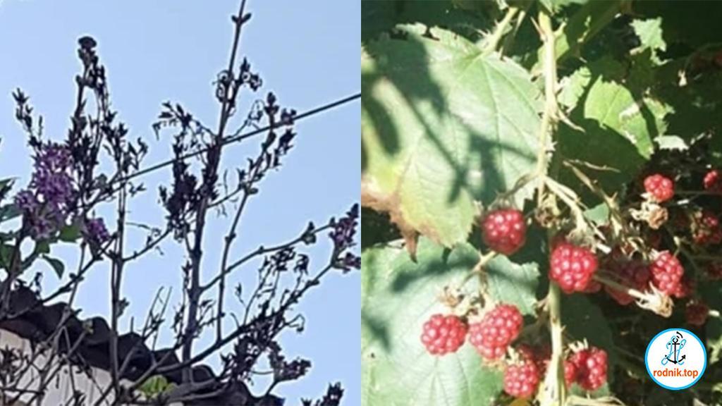 На Николаевщине расцветает сирень и созревают ягоды