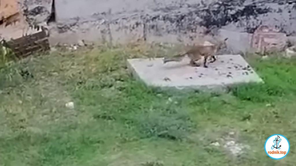 """На николаевском """"недострое"""" увидели лису"""