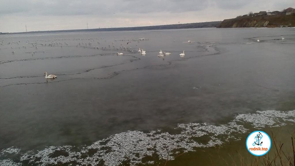 В Николаеве заметили лебедей